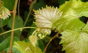Wild muscadine grape buds
