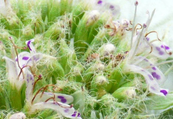 Closeup of the powdery leaved plant's flowers.