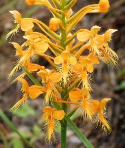 Orange fringed orchid.