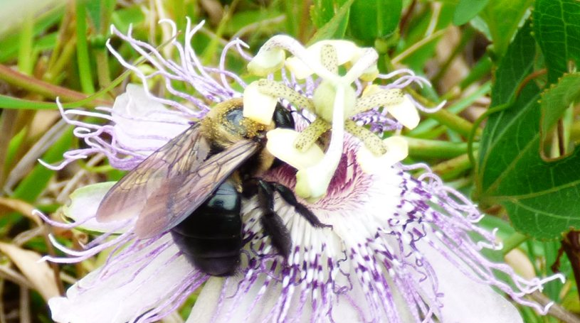 Another passionflower with a bee