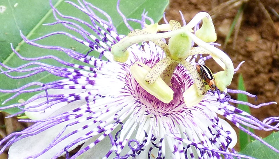 Colorful bug on a passionflower (Passiflora incarnata)