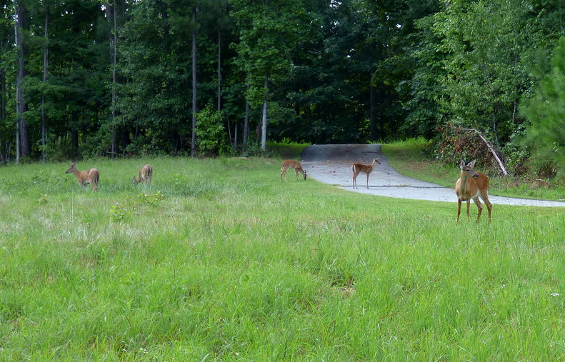 Here are 5 deer.  I couldn't get the 6th one in the photo.
