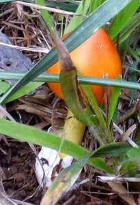 Orange amanita.  I pulled the leaf litter away to expose the enlarged bulb (ova) at the base.