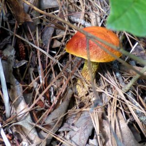 Much of the shaggy stalked bolete's long stalk was buried in leaf litter.