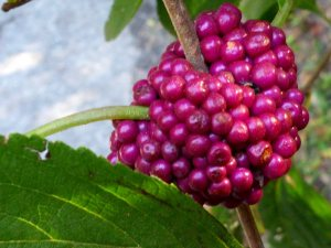 Closeup of beautyberry