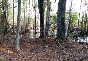 Cypress swamp near primitive camping area