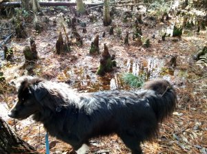 The lighting on this picture is awful.  But it's Sheba in the cypress swamp by the primitive section.