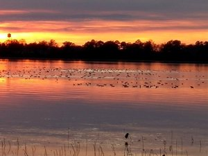 Coots at sunset