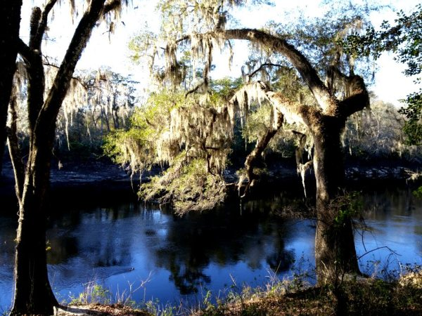 Spanish moss covered tree overhanging the river.  The trunk is covered with air plants and ferns.