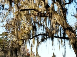 Another old tree gracefully bedecked with Spanish moss.