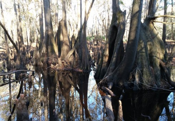 Giant cypress knees and tree bases