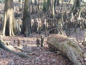 More cypress knees.
