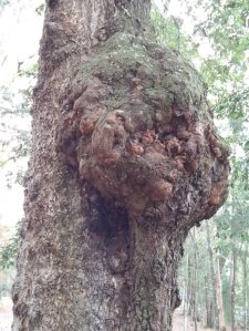 I took this picture simply because it is the biggest ugliest tree gall I have ever seen!