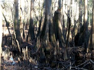 More giant cypress knees