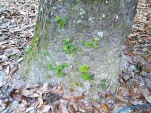I have often seen old trees down by rivers covered with resurrection ferns.  But this was the first time I had seen the ferns just beginning to colonize a tree trunk.