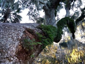 Resurrection ferns on the leaning tree.