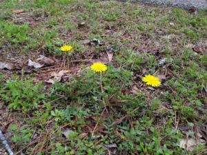 Dandelions.  My favorite spring flowers.  Seriously!