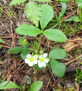 Wild strawberries are blooming.