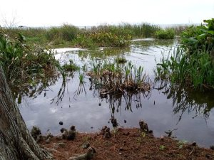 Lake Apopka is a big lake bordered by vegetation that provides a perfect habitat for many aquatic and semi-aquatic critters.