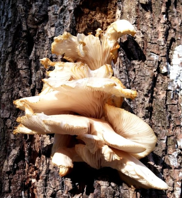 oyster mushrooms magnolia